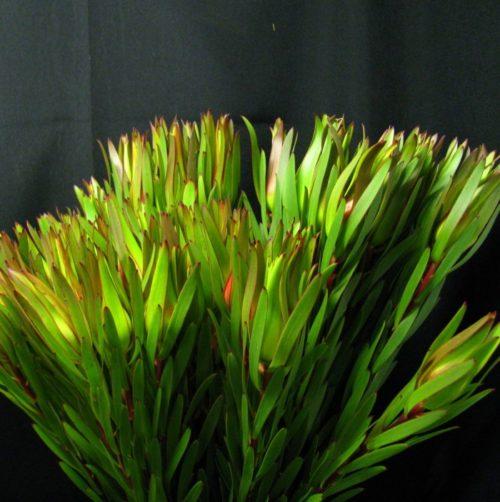 Leucadendron Gold Strike