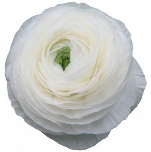 Elegance White