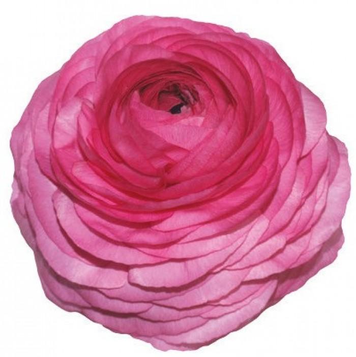 Elegance Hot Pink
