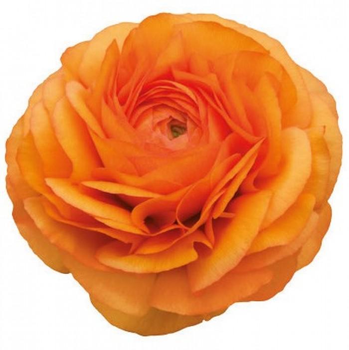 Elegance Orange