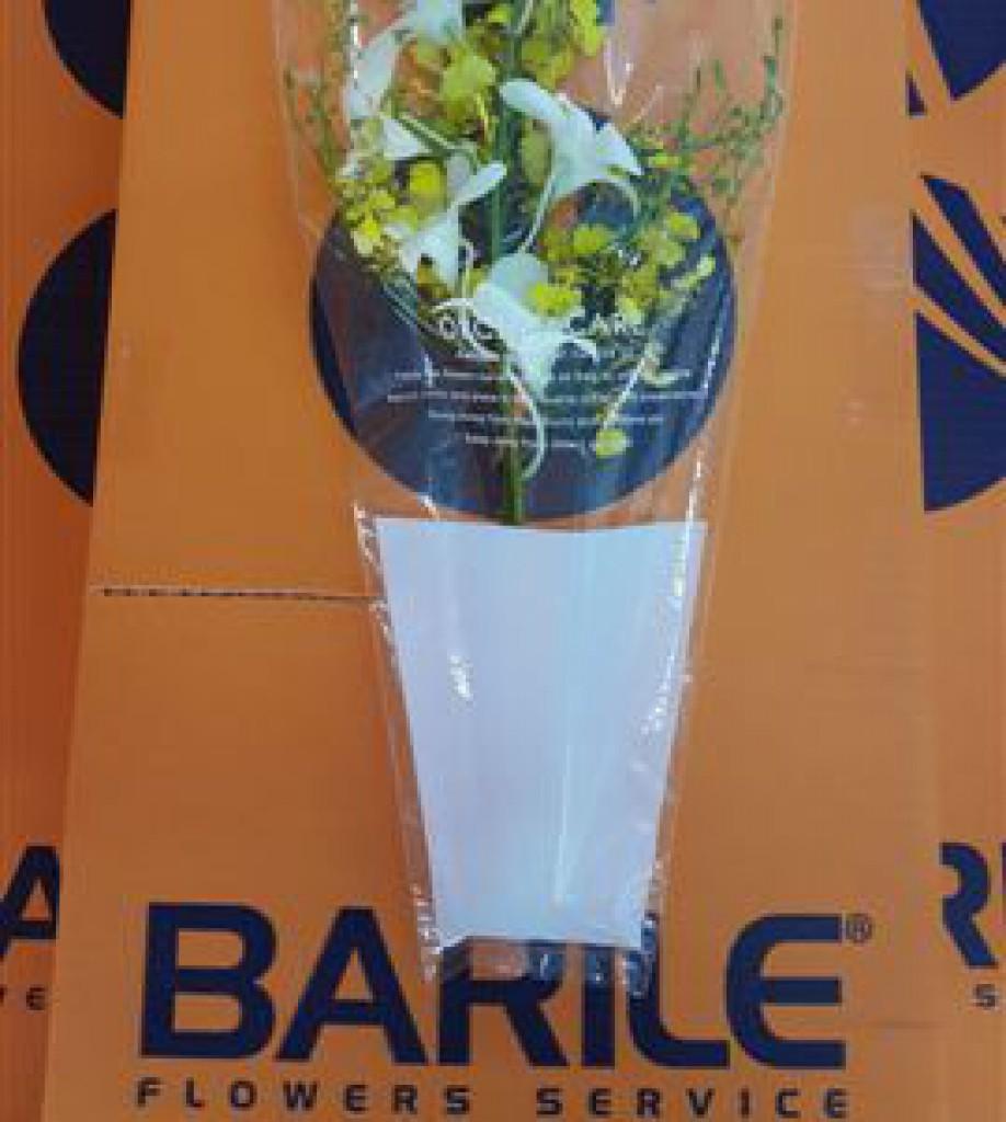 Dendrobium Bianco Pasqua