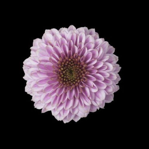 Doria Pink (santini)