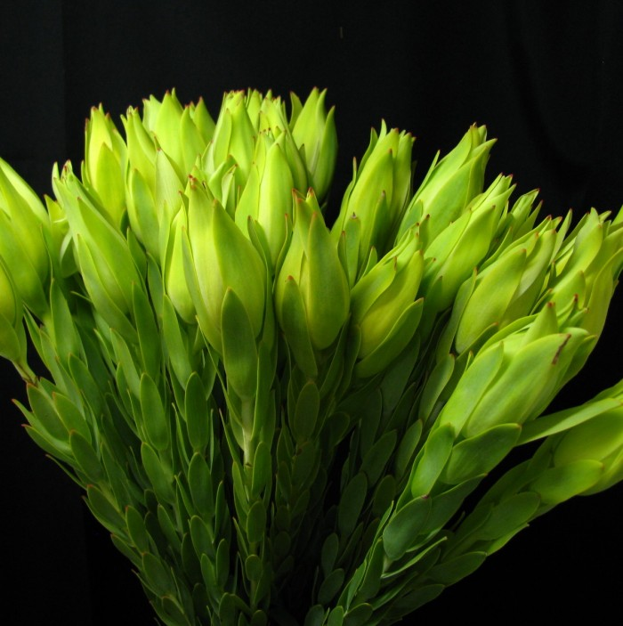 Leucadendron Procerum