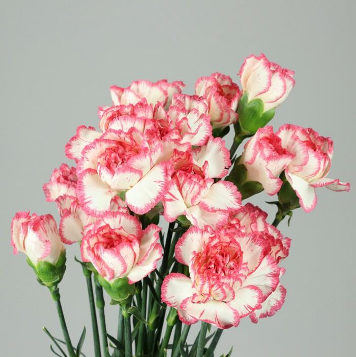 Select - Pink Bacarat