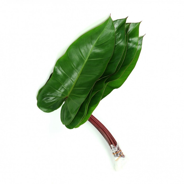 Philodendron Red Wing