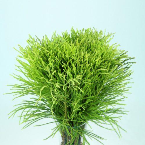 Lanuginosa Green