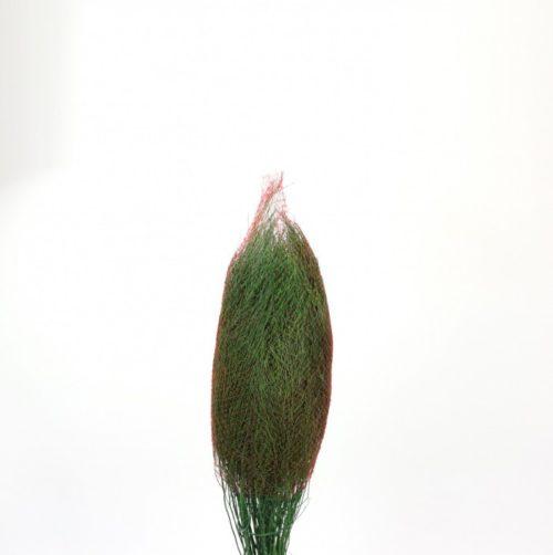 Asparagus Virgatus Sleeved