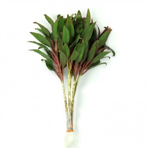 Cordyline Pink Compacto Top
