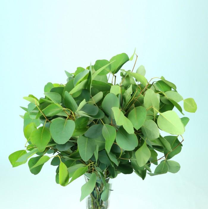 Eucalypthus Populus