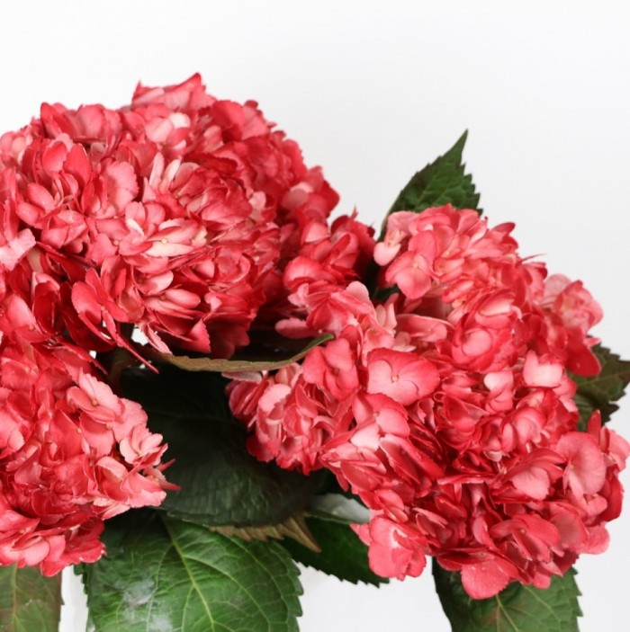 Hortensia Red