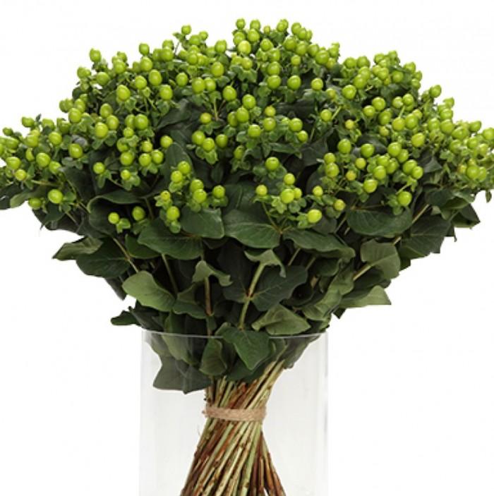 Hypericum Coco Family Bamboo