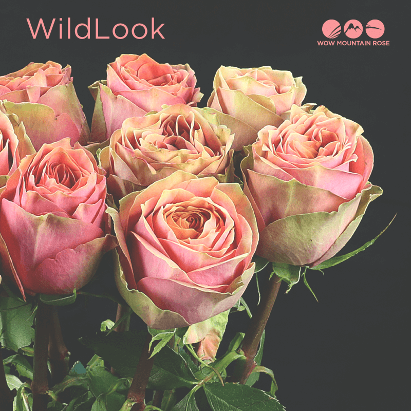 Wow Mountain Roses WildLook