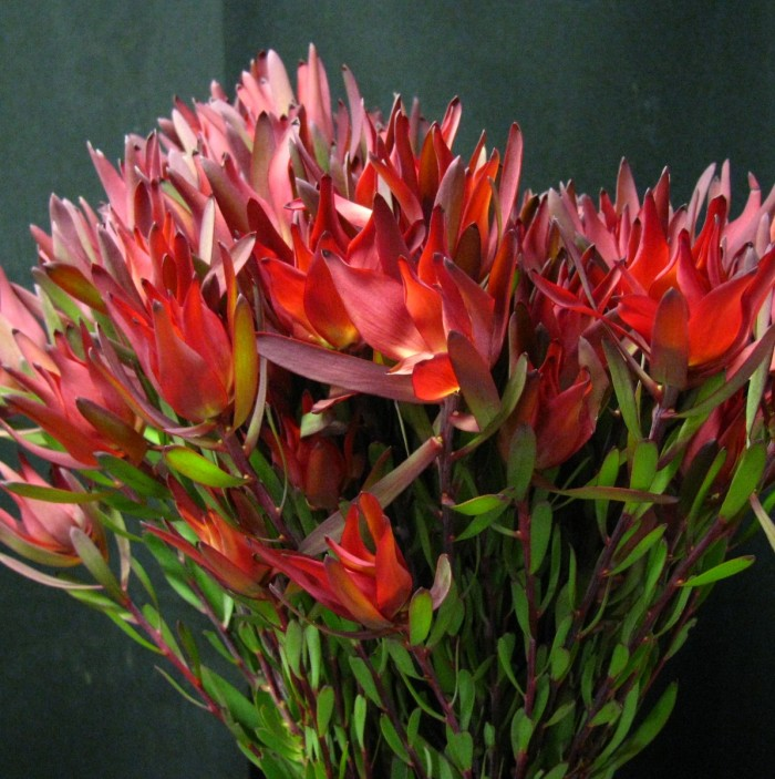 Leucadendron Blush Spray